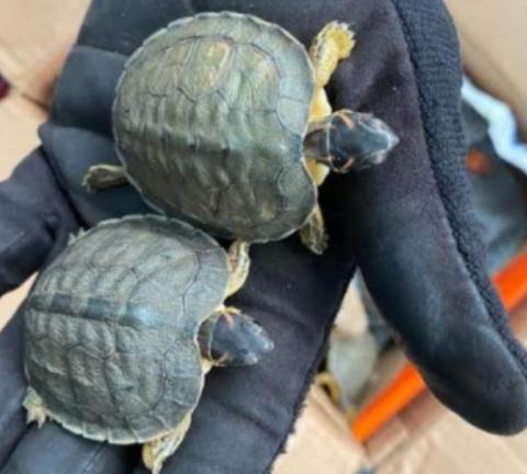 GN asegura boas y tortugas en San Luis Potosí